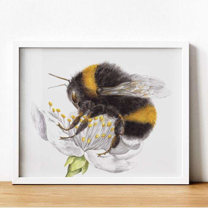 Ilustración científica de un abejorro común (bombus terrestris), ilustración a la acuarela.