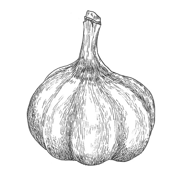 ilustración científica, ilustración tinta, ilustración ajo, ilustración para LaBullipedia, ilustración de producto