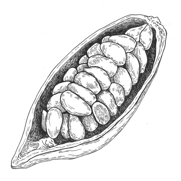 ilustración científica, ilustración tinta, ilustración cacao, ilustración para LaBullipedia, ilustración de producto