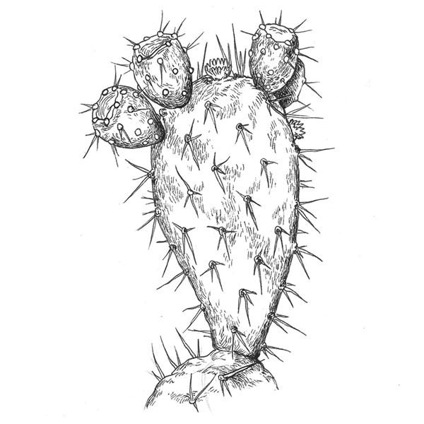 ilustración científica, ilustración tinta, higo chumbo, ilustración para LaBullipedia, ilustración de producto