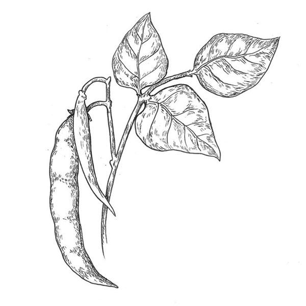 ilustración científica, ilustración tinta, judías, ilustración para LaBullipedia, ilustración de producto