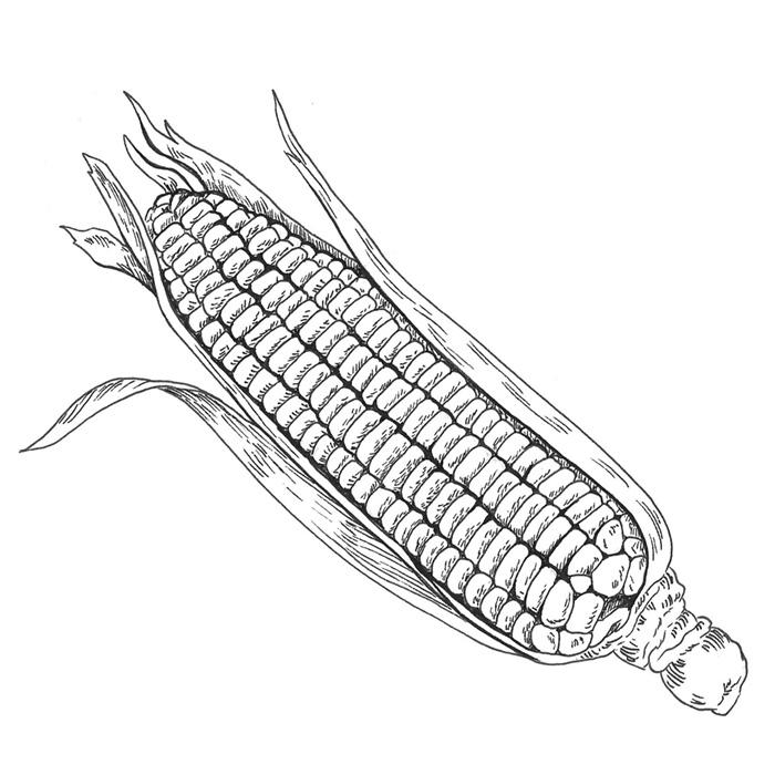 ilustración científica, ilustración tinta, ilustración maiz, ilustración para LaBullipedia, ilustración de producto