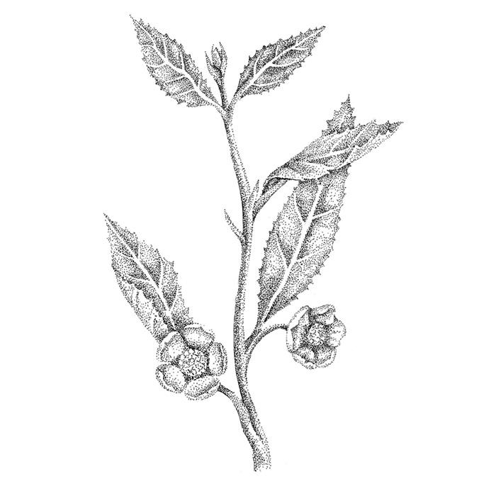 ilustración científica, ilustración tinta, ilustración planta del té, ilustración para LaBullipedia, ilustración botánica