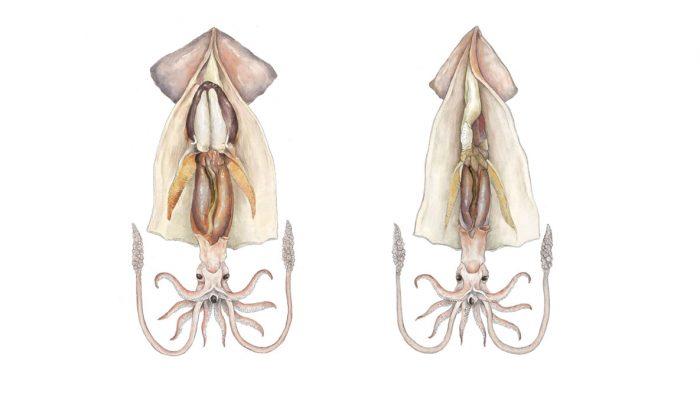 ilustración científica, ilustración hecha con grafito y color digital, ilustración calamares. Ilustración para LaBullipedia