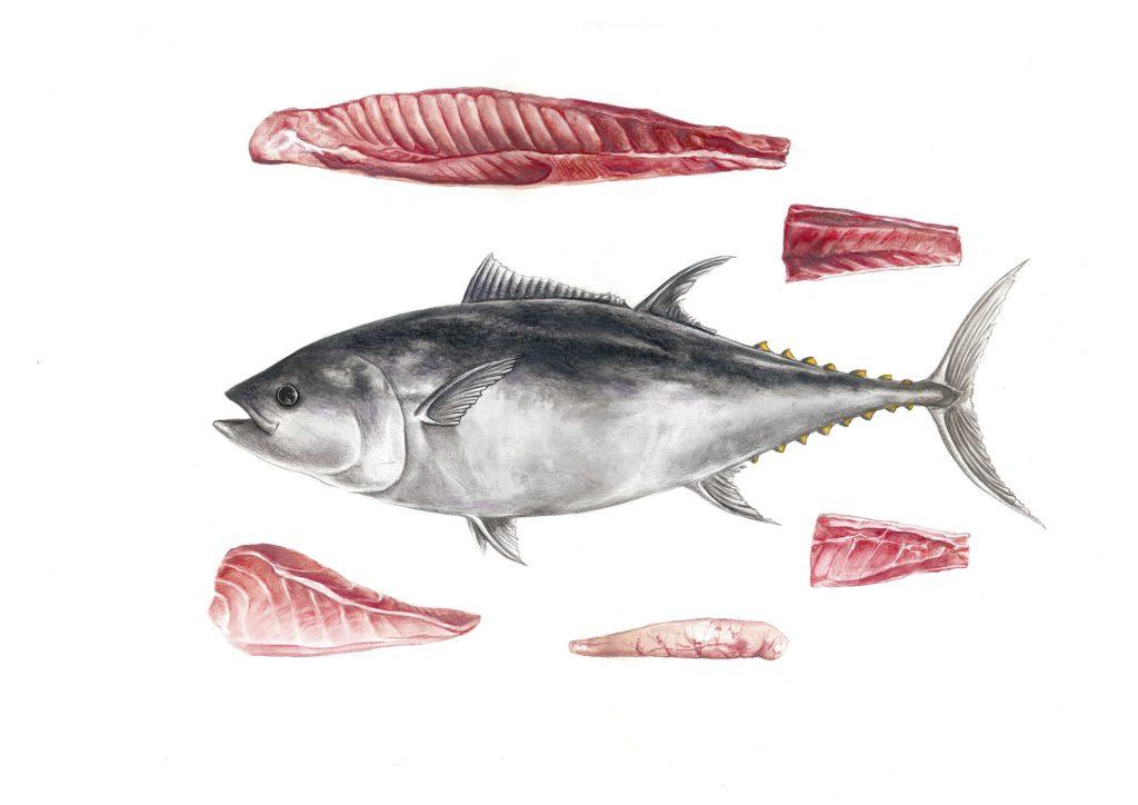 ilustración científica, ilustración a la acuarela y lápices de color, ilustración atún y sus partes. Ilustración para LaBullipedia