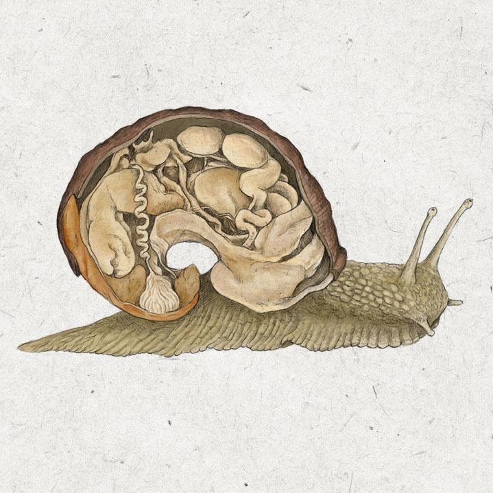 Ilustración científica para La Bullipedia, caracol y su anatomía interna
