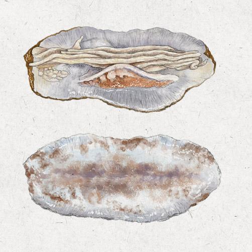 Ilustración científica para La Bullipedia. Espardeña de mar por dentro y por fuera.