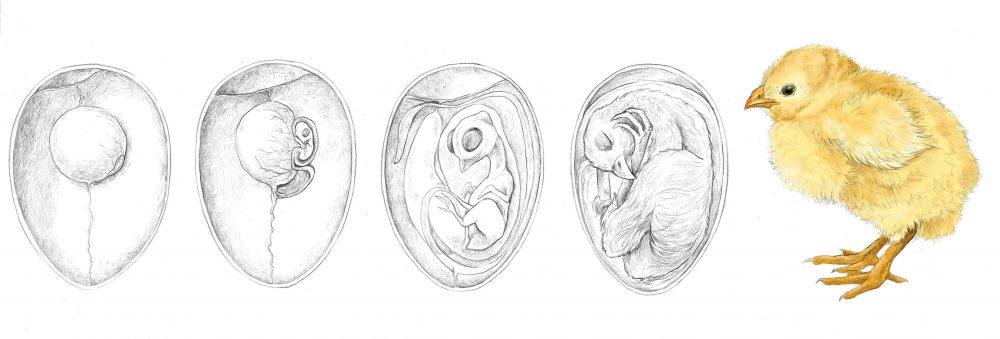 Ilustración de pollito y huevos