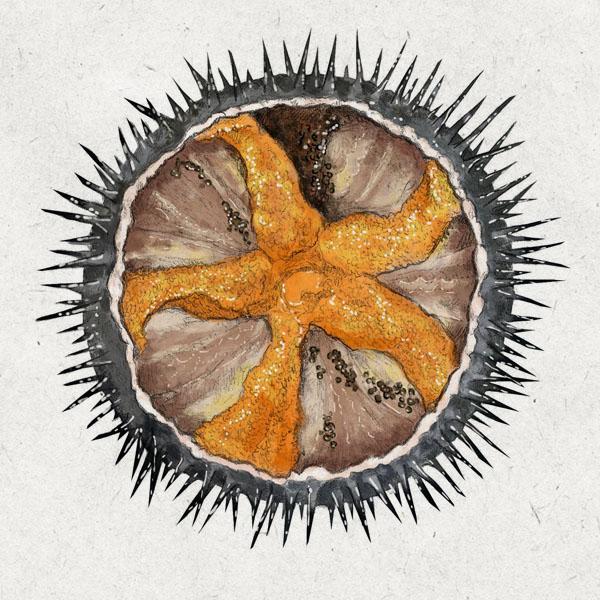 Anatomía interna de un erizo de mar.