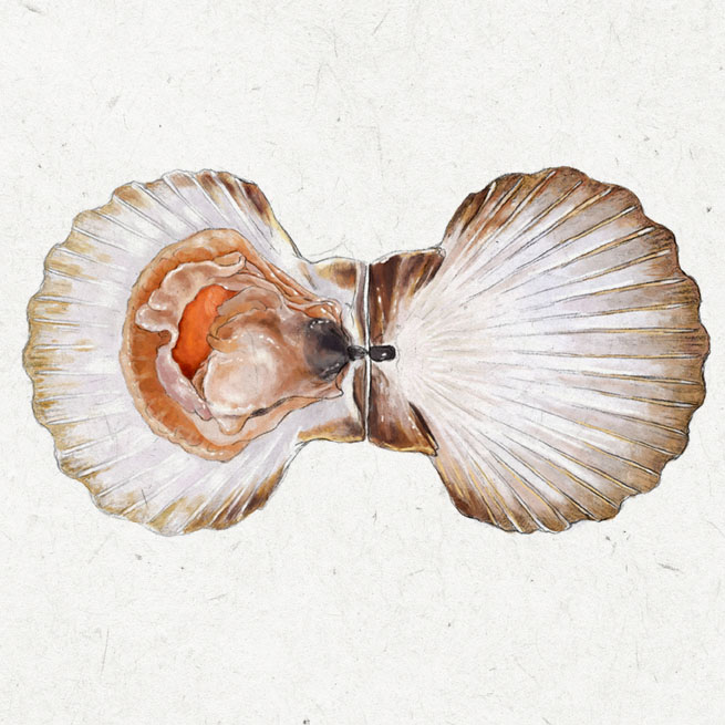 Ilustración científica de una vieira para La Bullipedia