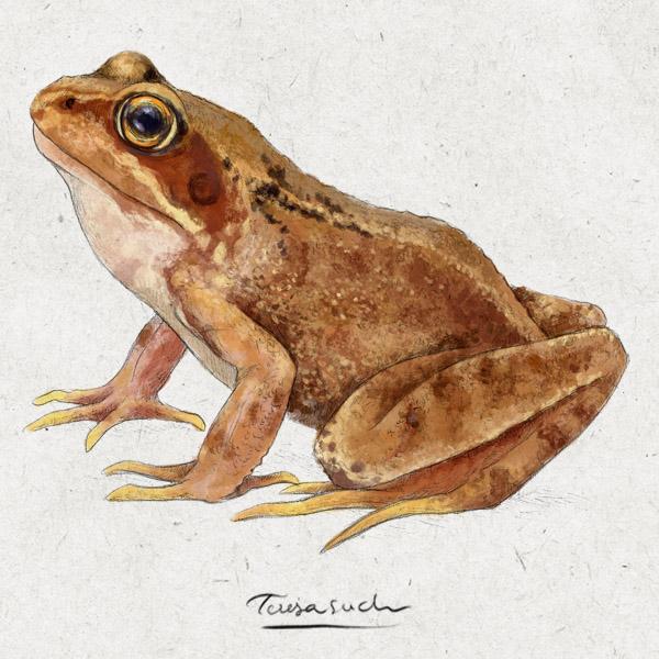 il·lustració científica granota