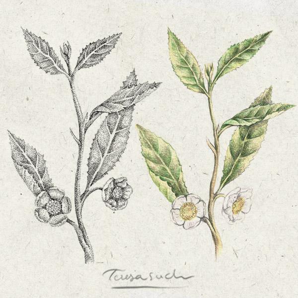 Planta del té