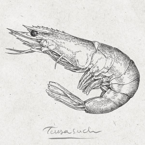 il·lustració científica gamba