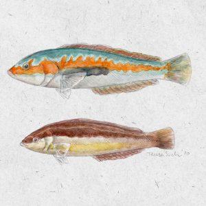 ilustración peces