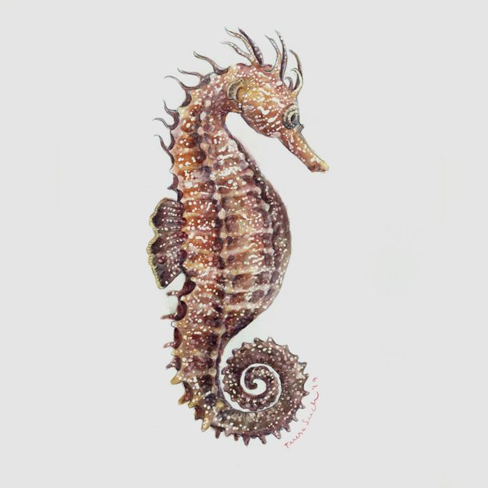 il·lustració cavallet de mar